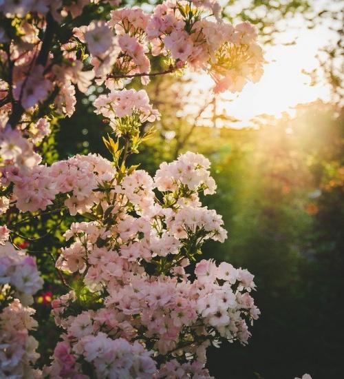 blooming, spring, garden